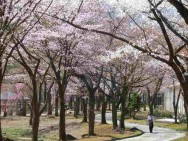 中央公園桜の道
