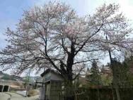 小原桜風景