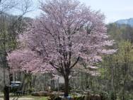 浅貝桜風景