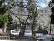 諏訪神社桜
