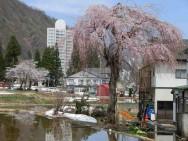 松川枝垂れ桜