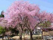 文明屋社有地内桜風景