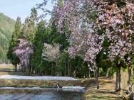 旭原田園と桜