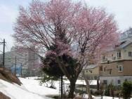 中里駅脇紅山桜
