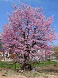楽町紅山桜