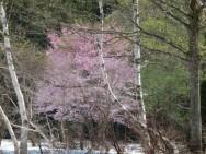 三俣・白樺と山桜の自然林