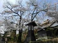 音羽屋旅館お迎え桜