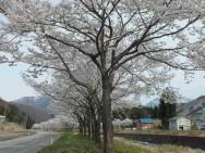 岩原桜並木(大源太川沿い)