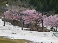 中里スキー場桜