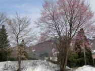 中里桜風景