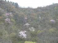 岩の湯山桜