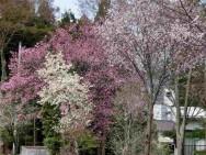 宮林桜風景その2