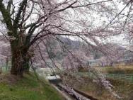 東電鉄管路桜並木