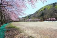 金六グラウンド桜風景