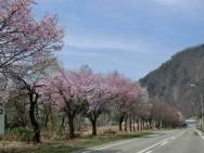 魚野川沿い桜並木