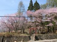 浅貝神社桜風景