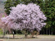 宮林桜風景その1