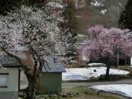 土樽桜風景