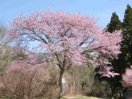 二居集落の桜