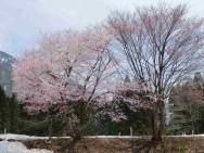 古野二桜風景その1