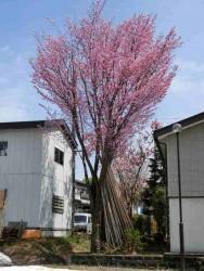 原新田桜風景