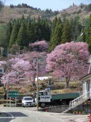 二居紅山桜の里