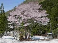 三俣・桜風景