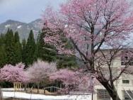 雪国館春季特別展「湯沢桜名所めぐり」