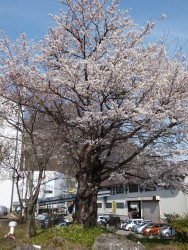 宮林桜風景その3