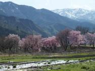 岩原スキー場桜風景