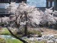 布場桜風景