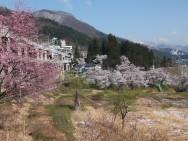 愛宕桜風景