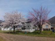 石白桜風景