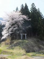 十二大明神桜風景