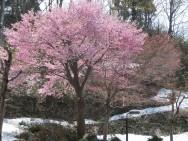 城平紅山桜