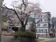温泉通り桜風景