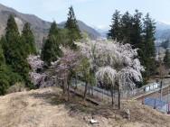 高半旅館下桜