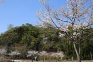 染井吉野と滝