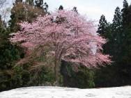 雪に咲く紅山桜