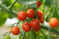 こだわりの栽培トマト 摘み取り体験と販売